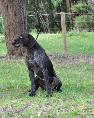 wirehair 002