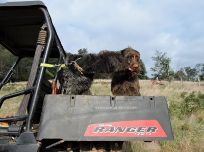 wirehair 039