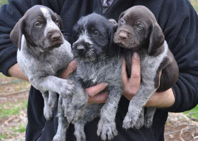 wirehair 050